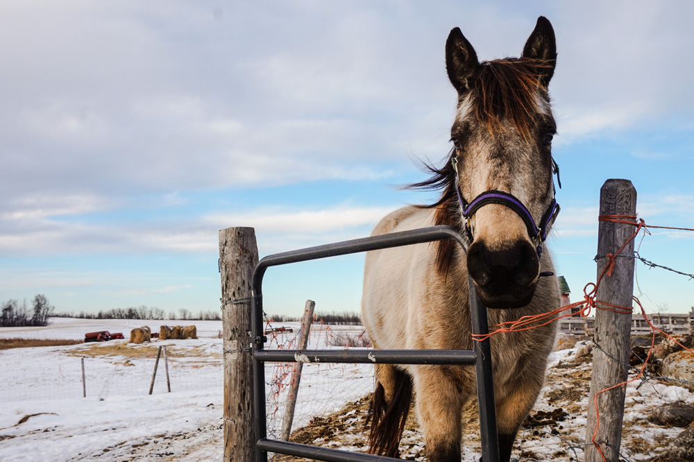 Horse enjoys the outdoor weather on the prairies of Leduc County, in Central Alberta. Find a home in Leduc, Alberta. Affordable homes and houses for sale.